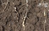 kiła kapusty w rzepaku korzenie