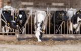 Dlaczego krowy źle znoszą przeciągi?