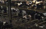 krowy-tytulowe