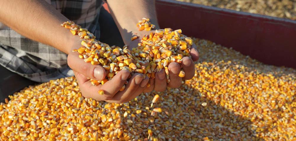 Kukurydza: rolnicy zadowoleni zplonów, ale nie zceny
