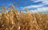 W resztkach po kukurydzy mogą gnieździć się szkodniki!