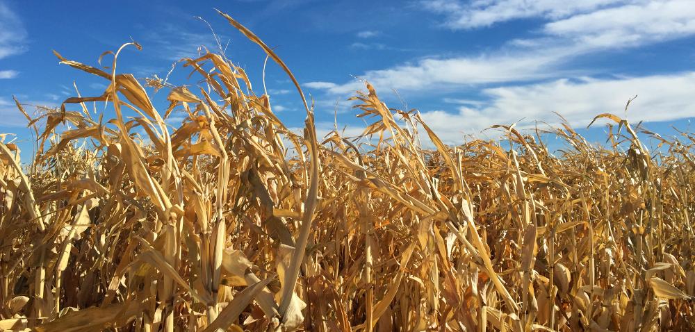 Co zrobić zresztkami po kukurydzy?
