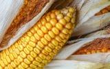rynek kukurydzy