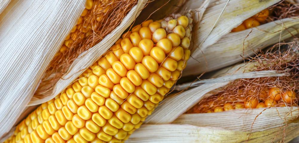 Dobre perspektywy dla rynku kukurydzy