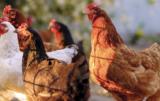ptasia grypa u ptaków dzikich