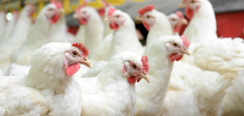 Jak ustrzec się ptasiej grypy uptaków hodowlanych?