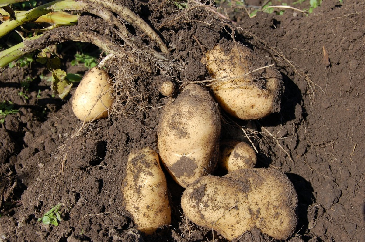 potatoes-1637280_1280