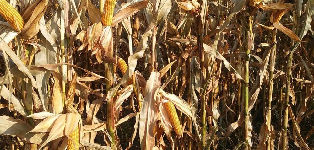 Kto lubi ciąć kukurydzę wmroźne dni?