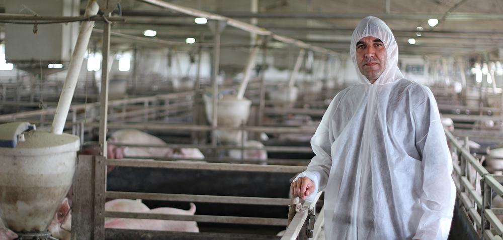 Strefa ASF: zdrowe świnie trafiają do utylizacji!