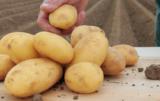 uprawa ziemniaka