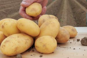 Ceny ziemniaków wPolsce polecą wdół