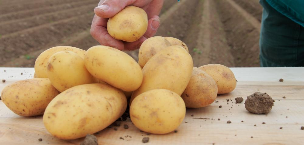Uprawa ziemniaka wczoraj idziś