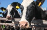 zachowanie krów