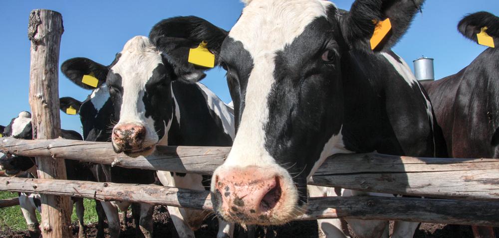 Zachowanie krów – Po co je obserwować?