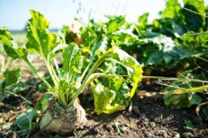 uprawa buraka cukrowego