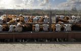 Hodowla bydła mięsnego a innowacyjność: zwiększmy opłacalność produkcji!