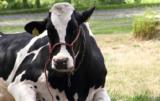 produkcja mleka