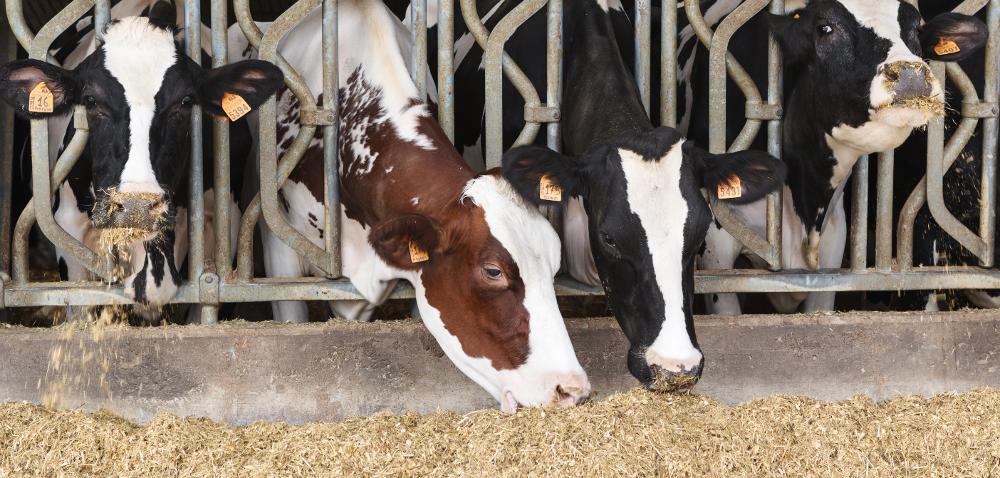 Żywienie krów mlecznych wzasuszeniu: oczym musimy pamiętać?