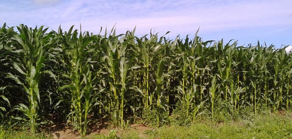 Szkodniki kukurydzy – słonecznica orężówka