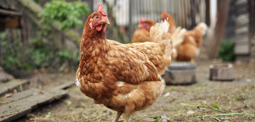 Ptasia grypa wPolsce: jedno ognisko – wiele problemów