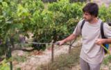 ochrona winorośli