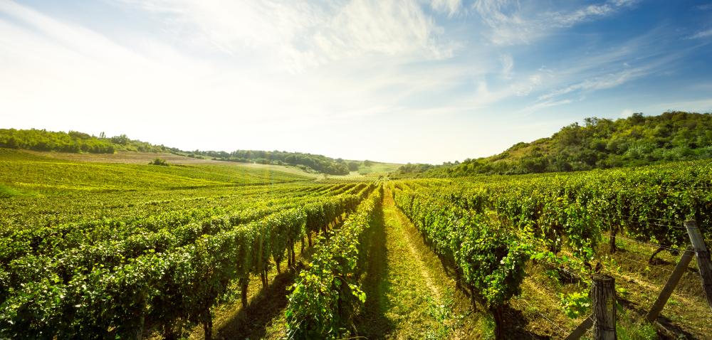 Wymagania winorośli – poznaj podstawy!