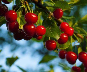 Zbiory owoców wPolsce pod kreską