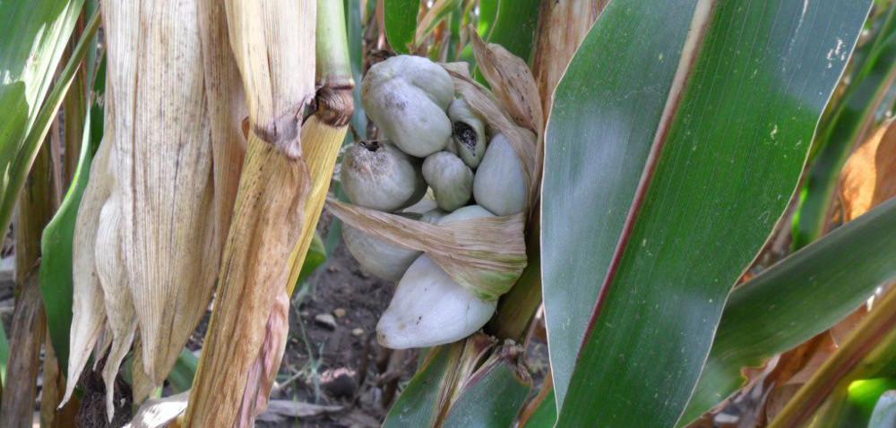 Głownia guzowata kukurydzy: jak się objawia?