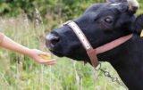 Zatkanie przełyku u bydła