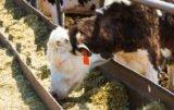 Młóto browarniane – pasza mlekopędna