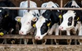Nadmiar mocznika w mleku