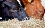 probiotyki w żywieniu krów