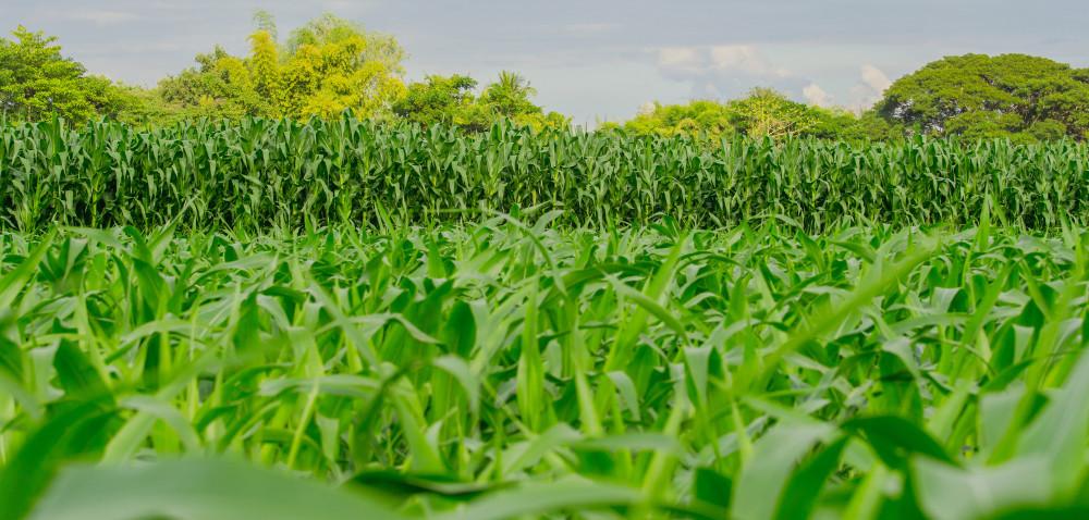 Uprawa kukurydzy wPolsce: rejonizacja upraw