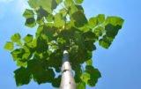 drzewa szybko rosnące oxytree