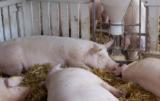 Żywienie trzody chlewnej: jaki ma wpływ na jakość wieprzowiny?