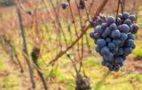 deklaracje o zbiorach winogron