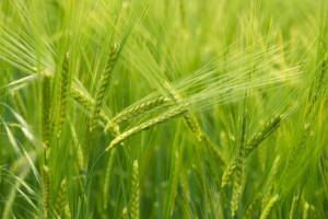 bezopryskowy fungicyd do zbóż jarych