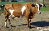 krowa-rw_witekrolnik