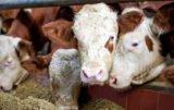 pogłowie bydła