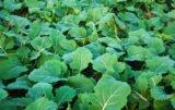Jak zwalczyć szkodniki rzepaku i pszenicy?