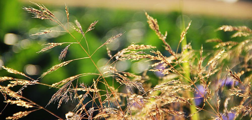 Wiosenne zwalczanie chwastów wzbożach ozimych