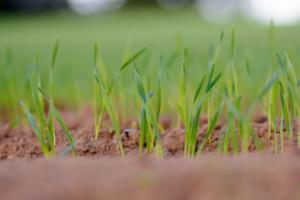 młody jęczmień ozimy - czeka go ochrona fungicydowa