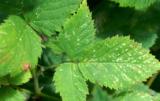 przędziorek owocowiec - skutki działalności szkodnika
