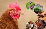 żywienie drobiu - zioła w paszach