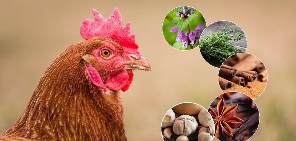 Żywienie drobiu: jakie zioła warto dodać do paszy?