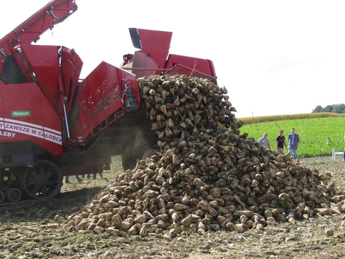 Obecnie cały burak cukrowy jest przetwarzany na potrzeby rolno-spożywcze