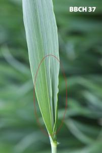 zapobieganie wyleganiu przez regulację zbóż