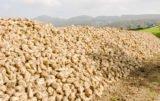 opłacalność uprawy buraka cukrowego