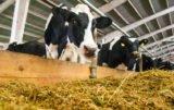 Żywienie bydła mlecznego paszami bez GMO: czy to możliwe?