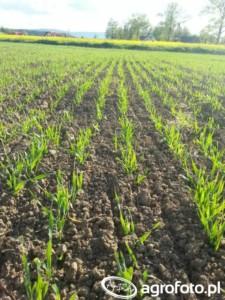 ochrona fungicydowa zbóż jarych